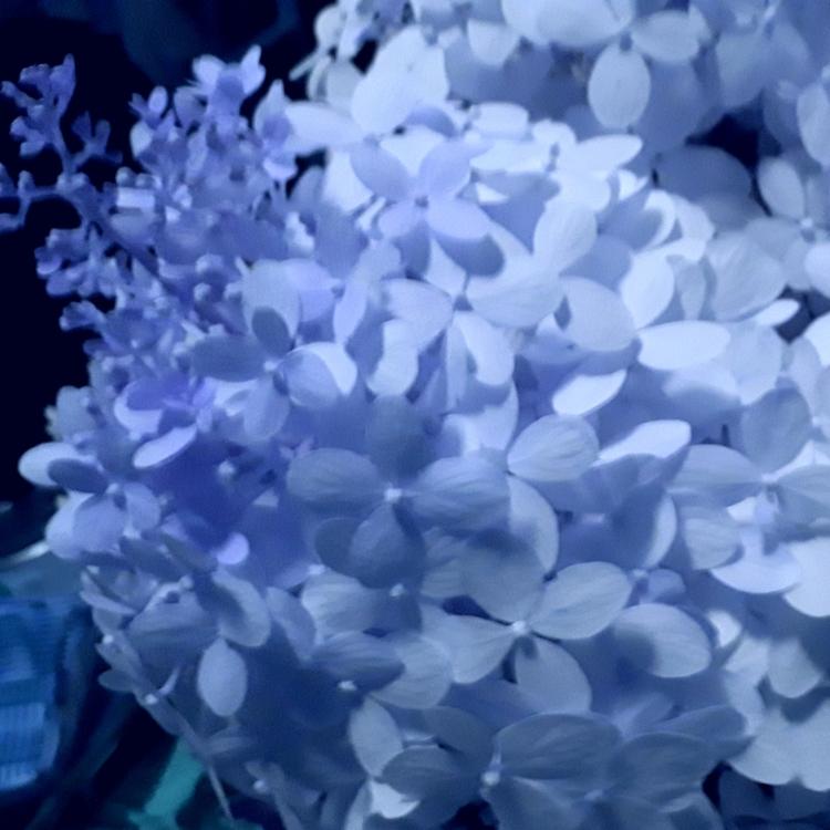 Crepe myrtle white close blue