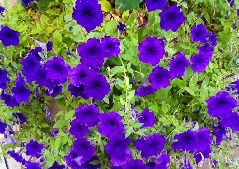Petunias crop