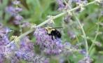 Bee bumble