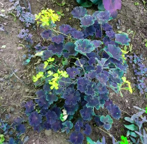 Begonia 2 hue_edited-1