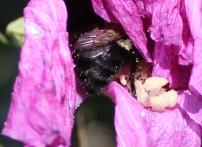 Bumblebee 3