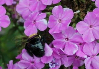 Bummblebee 1