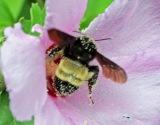 Bummblebee 8