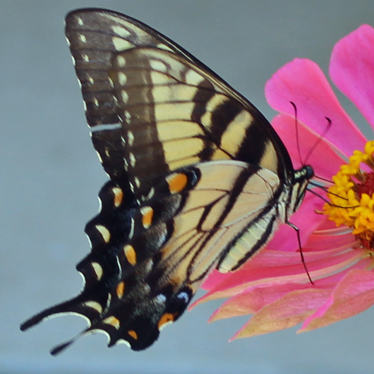 Butterfly 8