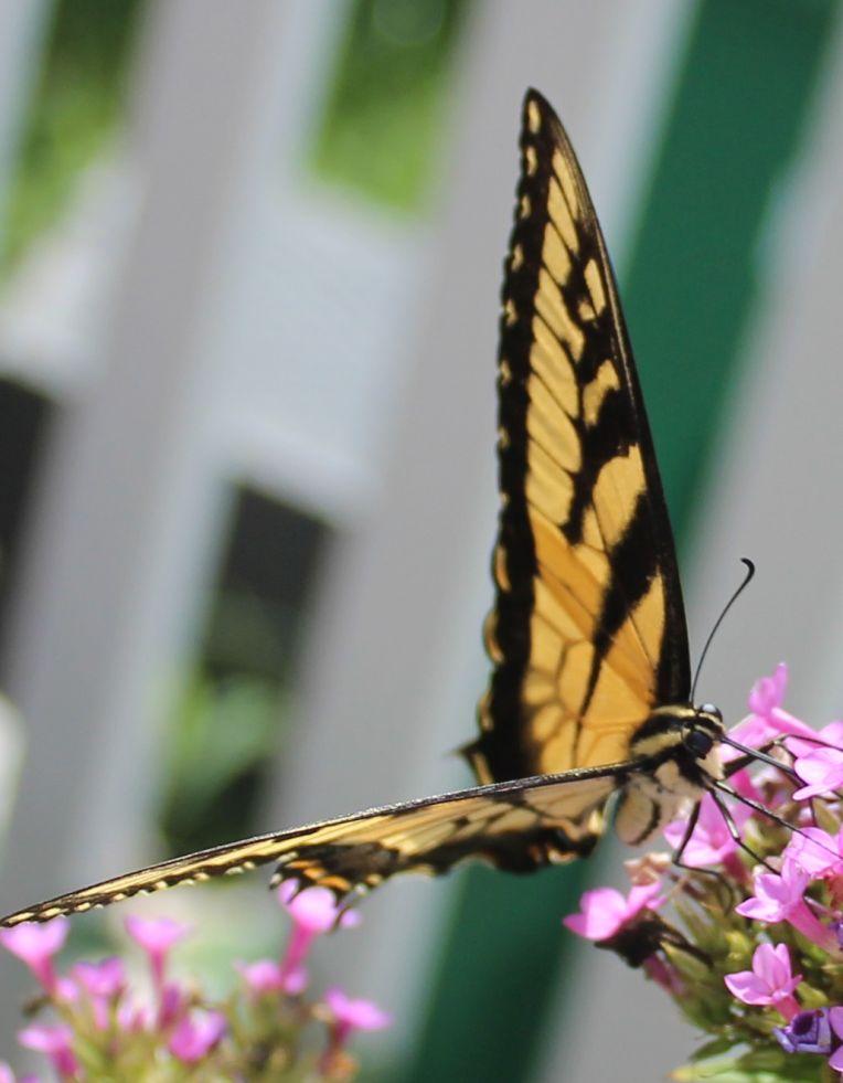 Butterfly Superstar 3