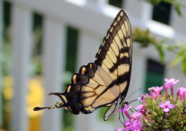 Butterfly Superstar 4