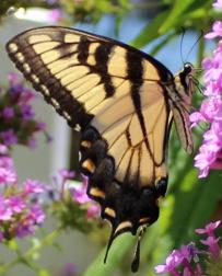 Butterfly Superstar 8