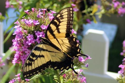Butterfly Superstar 9
