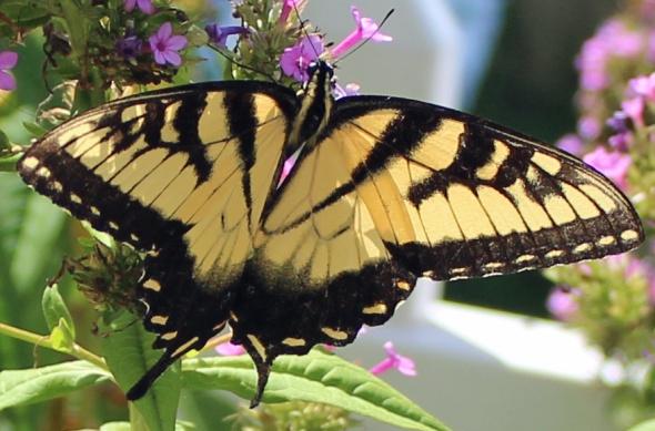 Butterfly Superstar 91