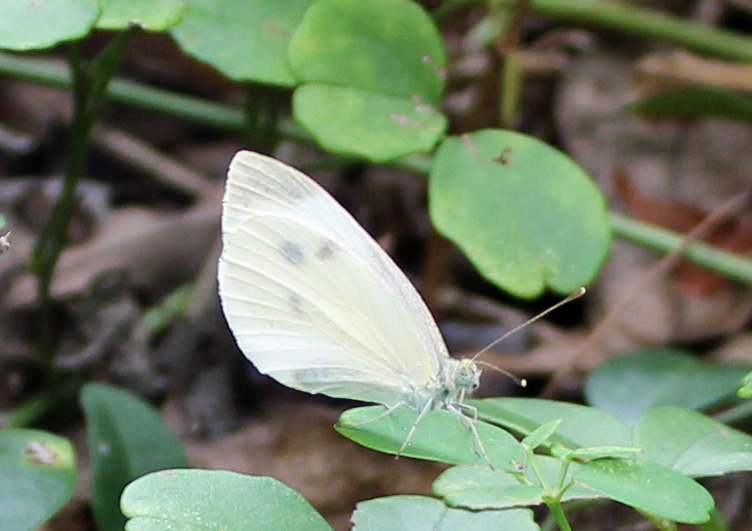 Butterfly White 1
