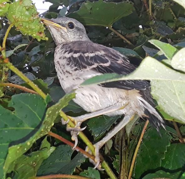 Chick 1 crop
