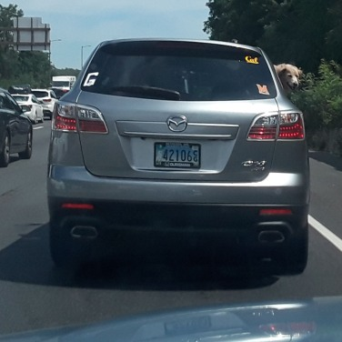 Dog in car 3
