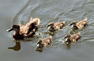 Duck and chicks 1