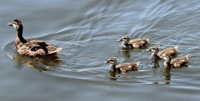 Duck and chicks 2