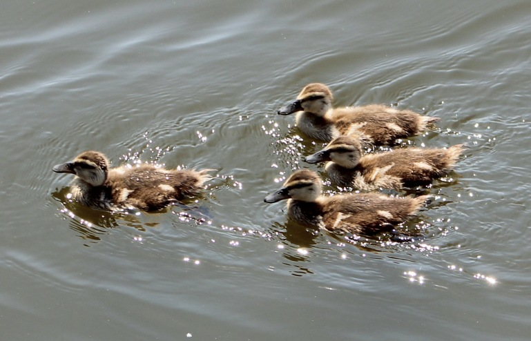 Duck chicks