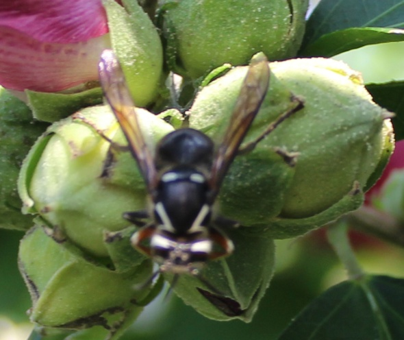 Hornet 1