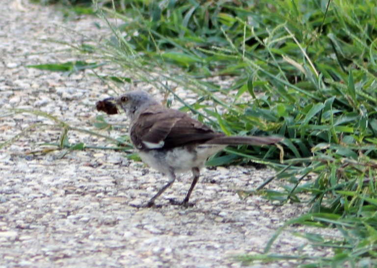 Mockingbird 2