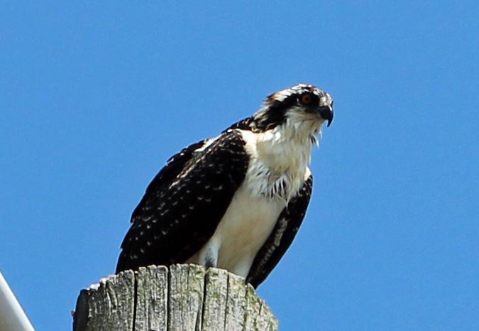 Osprey 9