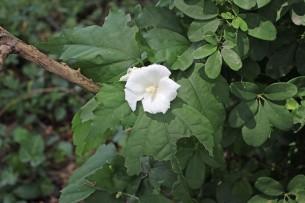 Rose of Sharon white 1