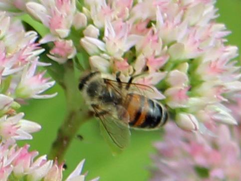 Bee 1