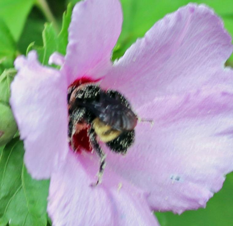 Bummblebee 9