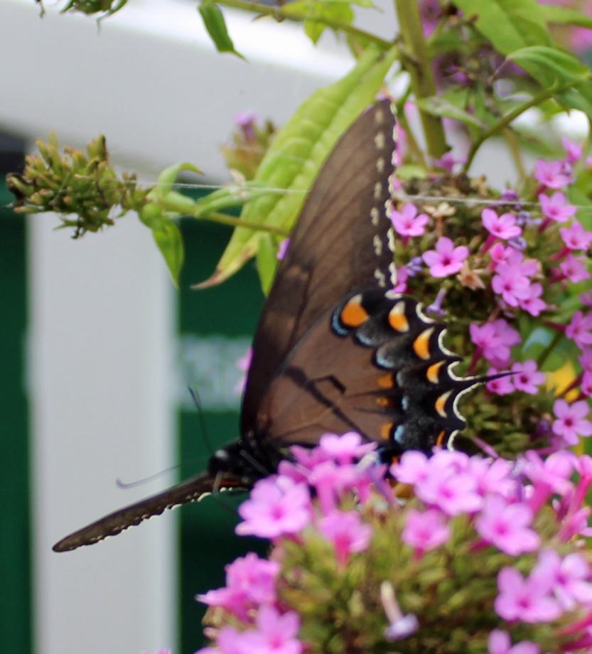 Butterfly 15 DAMN!