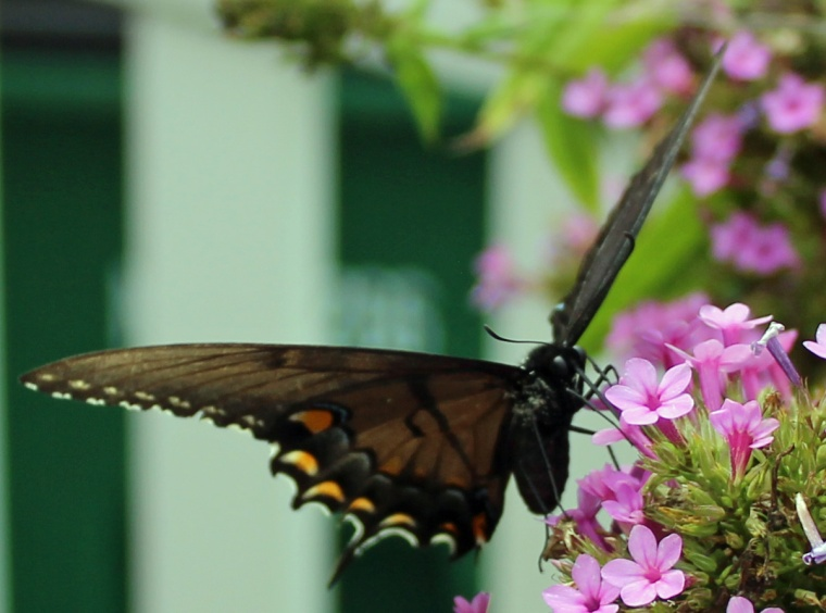 Butterfly 16 DAMN DAMN!