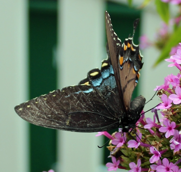 Butterfly 17 DAMN DAMN DAMN!!!