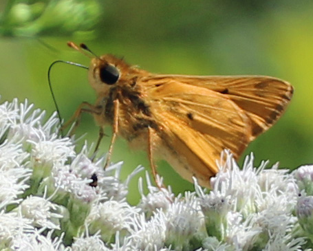Butterfly brown 1