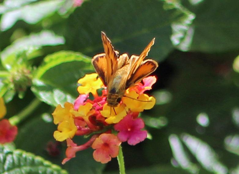 Butterfly crisp 1