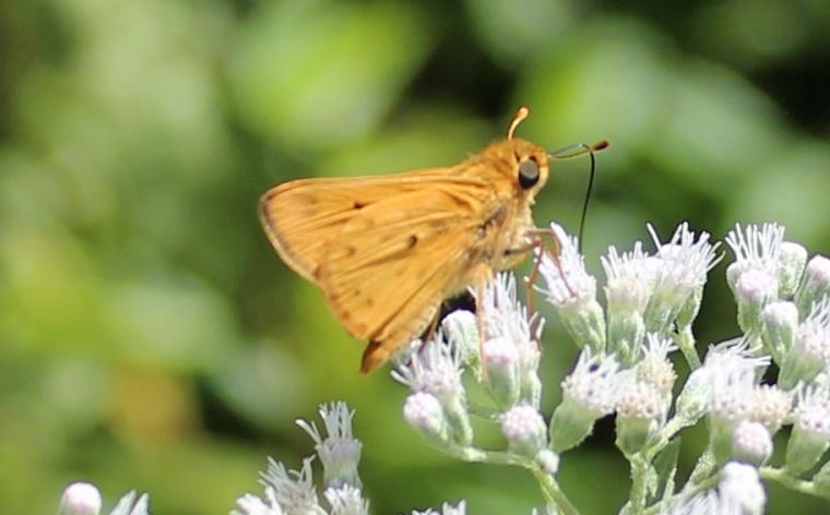 Butterfly Hillsmere 1