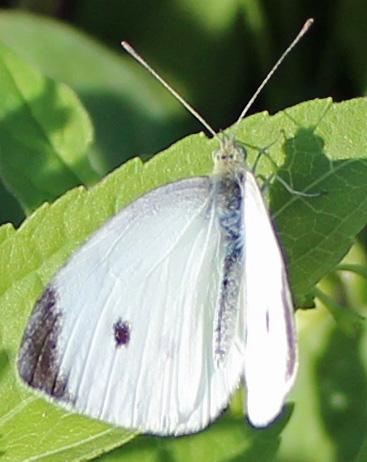 Butterfly Hillsmere 6