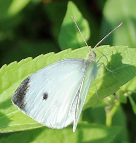 Butterfly Hillsmere 7