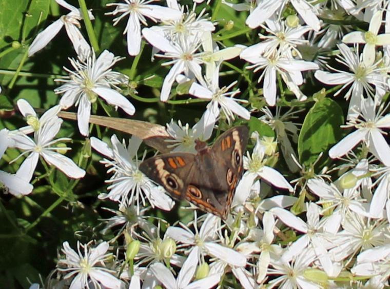 Butterfly Hillsmere 9a