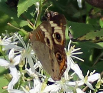 Butterfly Hillsmere 9b