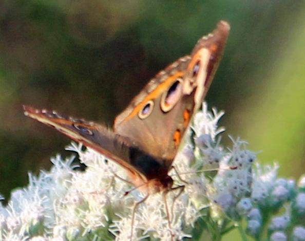 Butterfly jamboree 2