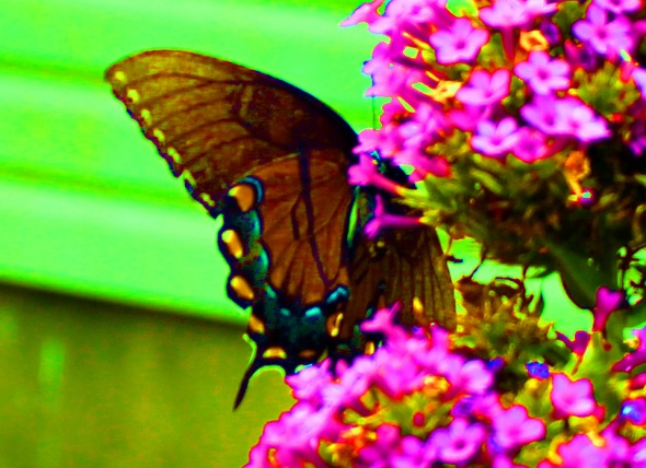 Butterfly saturate 1