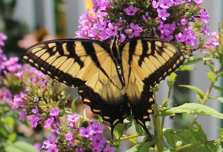 Butterfly Superstar 6
