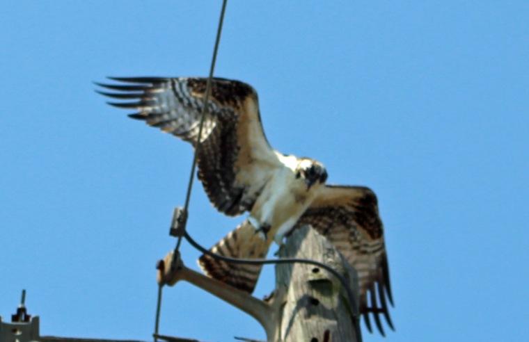 Osprey 11