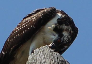 Osprey 16
