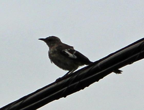 Bird mocking