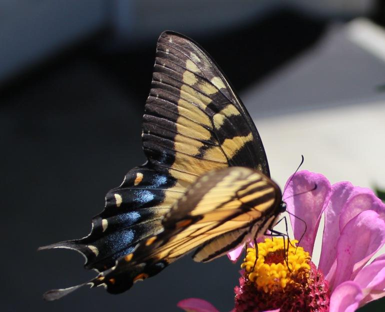 Butterfly 15