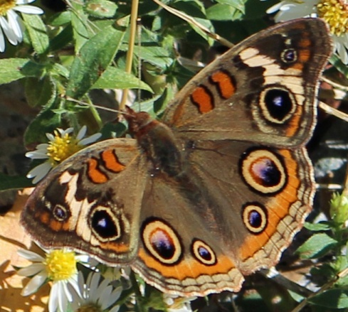 Butterfly brilliant 2
