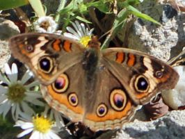 Butterfly brilliant 5