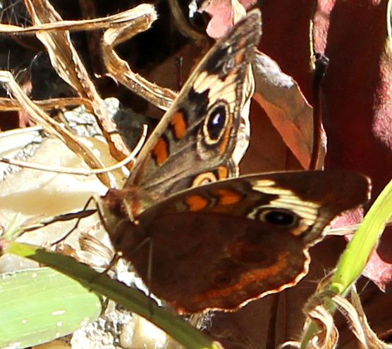 Butterfly10