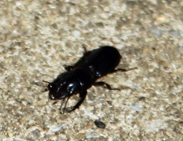Click beetle 1