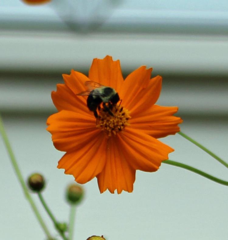 Cosmos & Bee 1