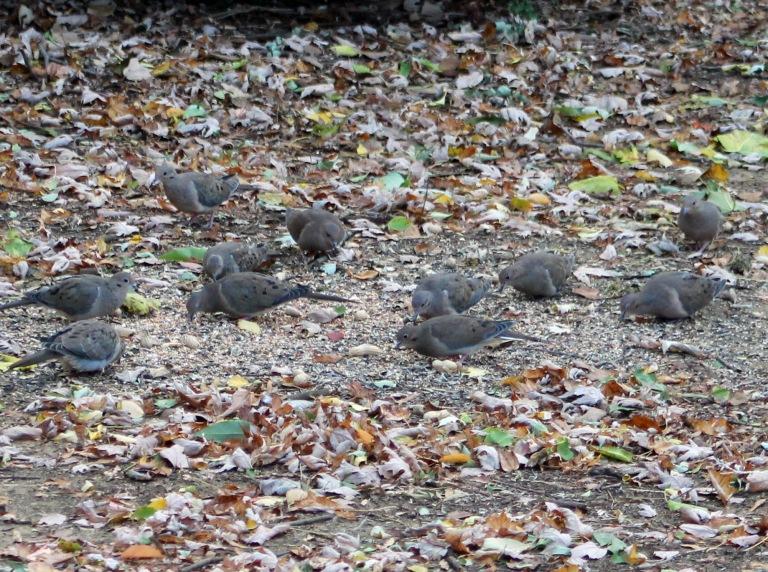 Doves 6 flock!