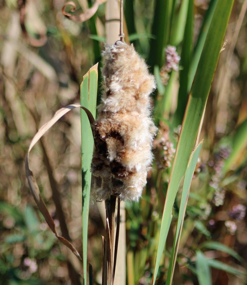 FOTD 3 milkweed