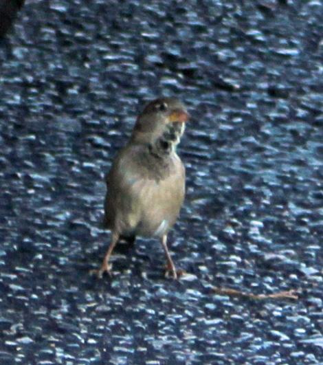 Sparrows 4
